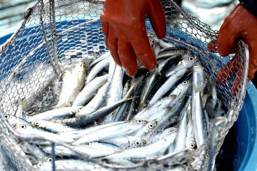 Fish - Kiks Balayon