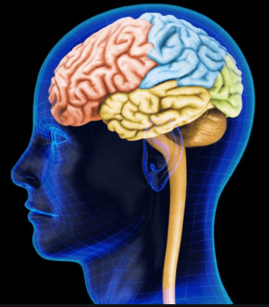 how much does the average human head weigh