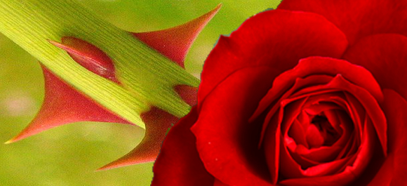 Image result for a rose and its thorns