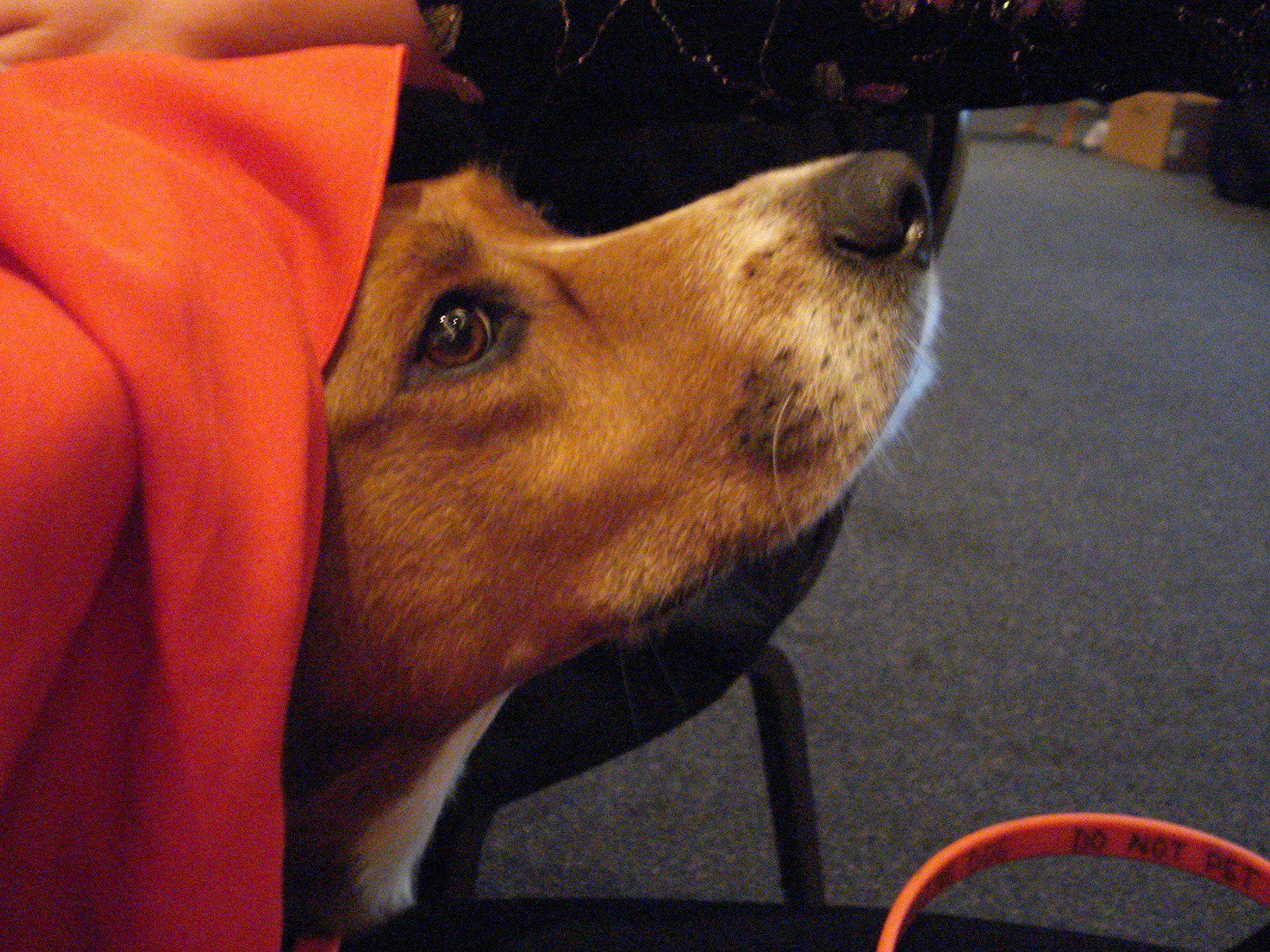 It's hard to wait under a table for 2 hours with other dogs when there is a long tablecloth!