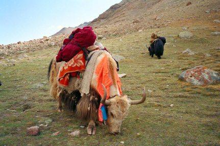 Mt Kailash: Yaks
