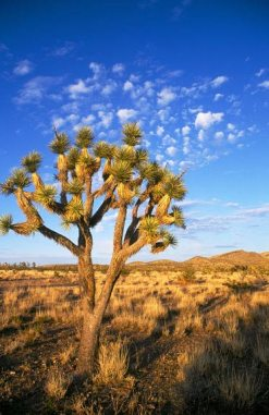 Joshua tree, Mojave Desert in Nevada