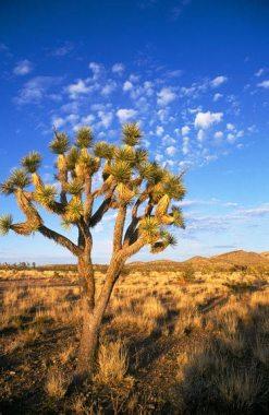 Joshua tree, Mojave Desert in Nevada
