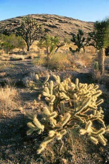 Teddy Bear Cholla cactus, Sonoran Desert in Nevada
