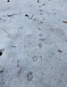 A zig-zagging line of pawprints (likely from a fox) appear within icy snow.