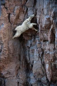 mountain-goat-3