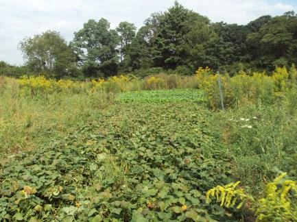 bush-bean-beds