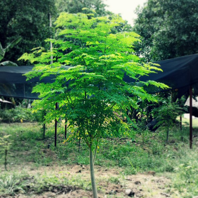 """The Moringa Tree - often referred to as the """"miracle tree"""" due to the highly nutritional, medicinal and purifying properties"""