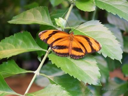 Butterfly Beauty (C) Virginia M. Dillman