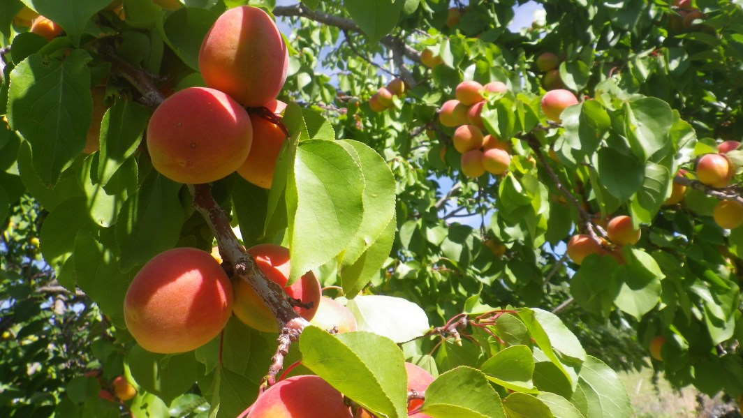 Close-up of apricots on tree