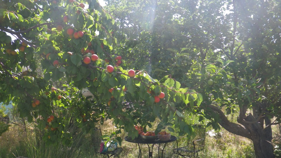 ripe apricots on a tree in sunshine