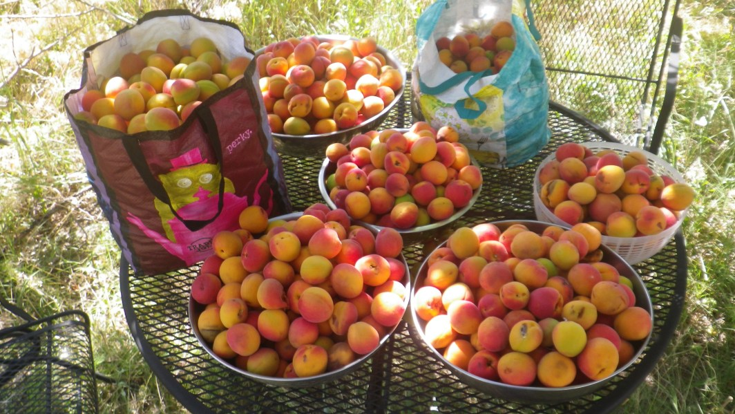 Eighty five pounds of apricots harvested