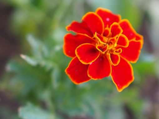 marigold in garden