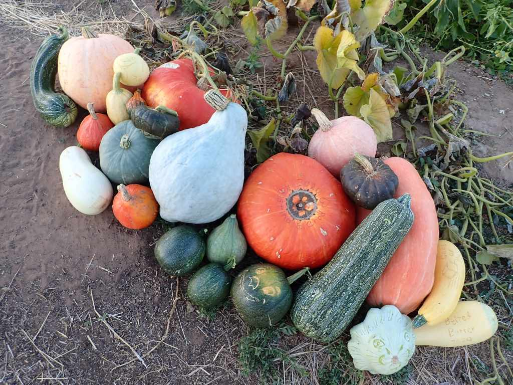 Winter Squash Harvest 2020