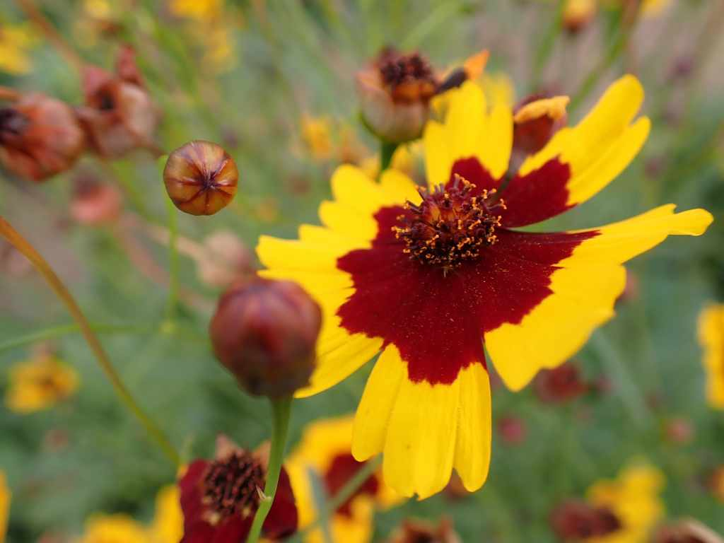 Close up of yellow and dark red plains coreopsis flowers in bloom and closed buds.