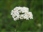 Achillea millefolium, or Yarrow; unique leaf shape and texture, also known as an aid in staunching the flow of blood from wounds