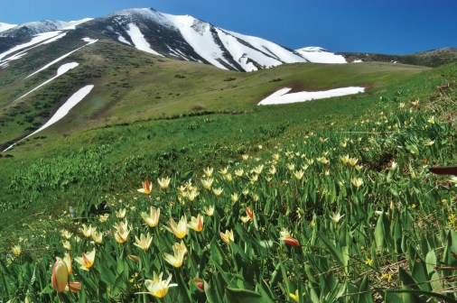 Tulips Growing Wild in Mountains of Central Asia
