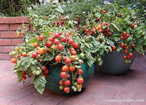 Tomato cherry bites at reneesgarden.com