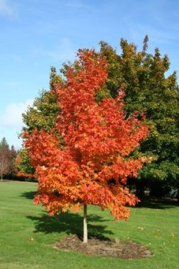 'Fiesta Fire' sugar maple