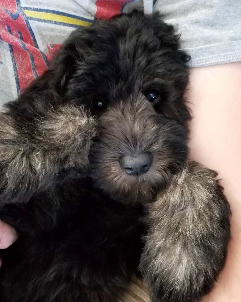 Black whoodle puppy being held like a baby