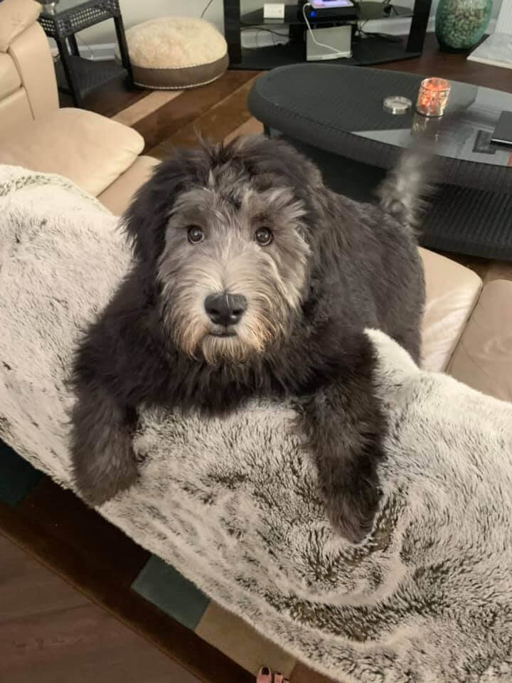 Tucker the dark gray whoodle sitting over the back of a couch