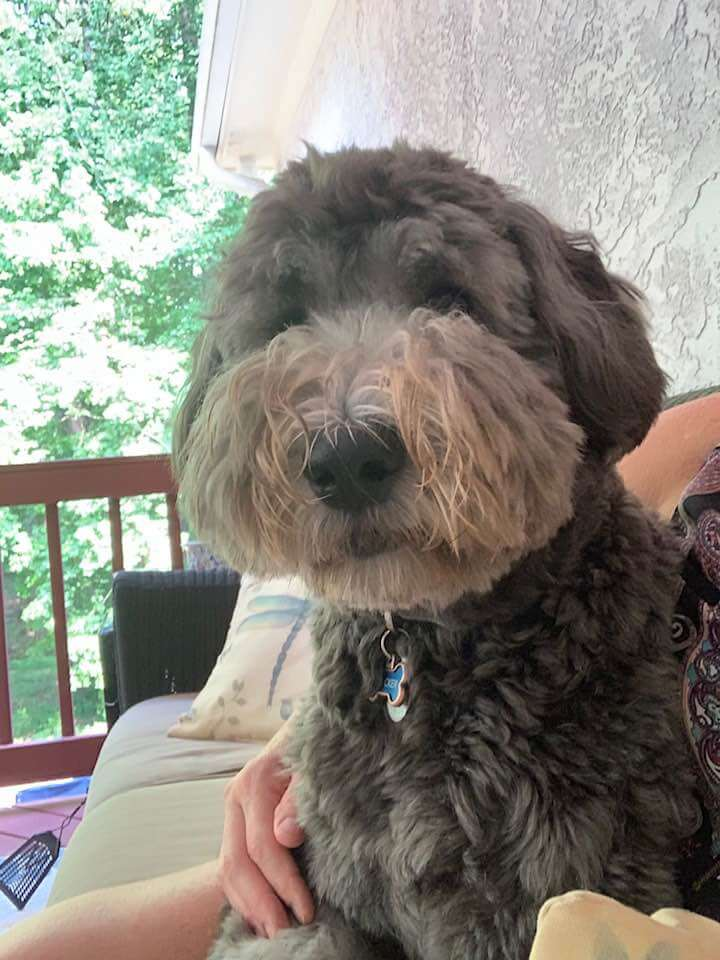 Tucker the dark gray whoodle looking at the camera