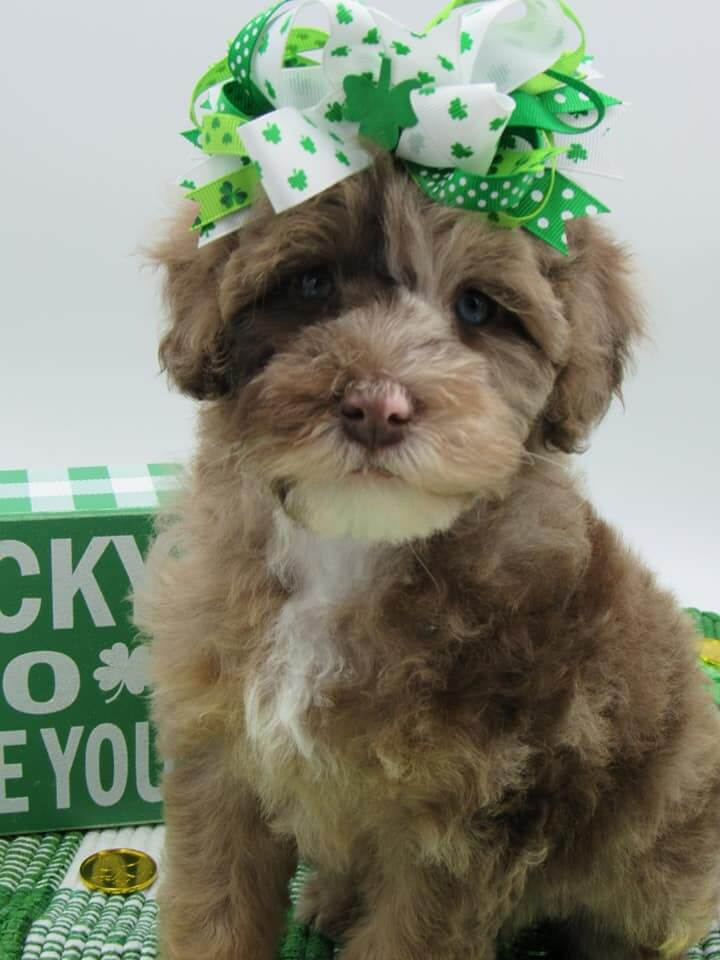 Multi-colored Brown Whoodle with St. Patrick's Day Bow