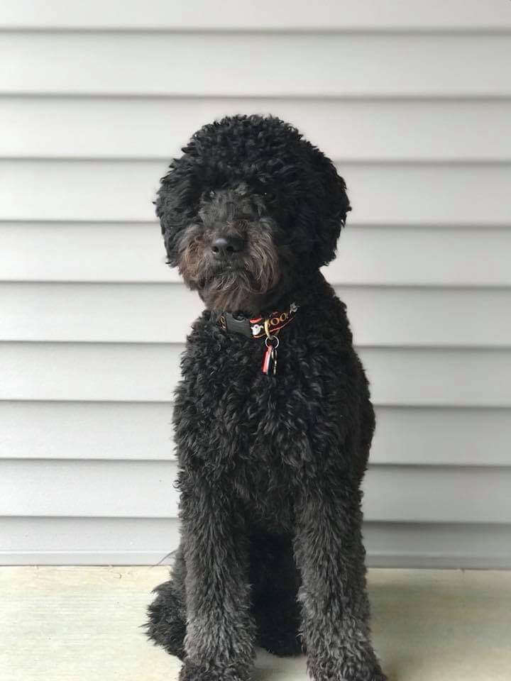 Black Whoodle infront of Siding