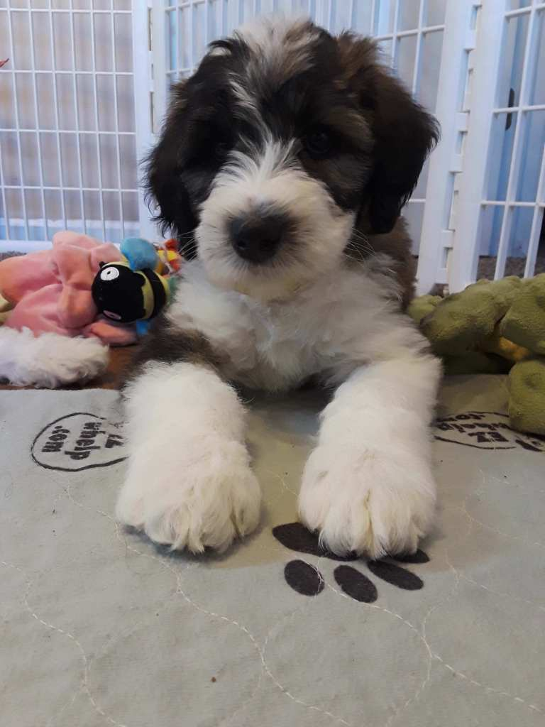 A black and white whoodle puppy