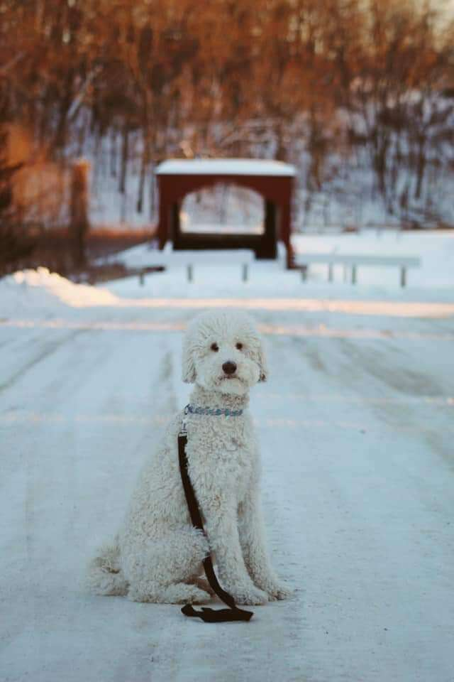 A white whoodle sitting in the snow
