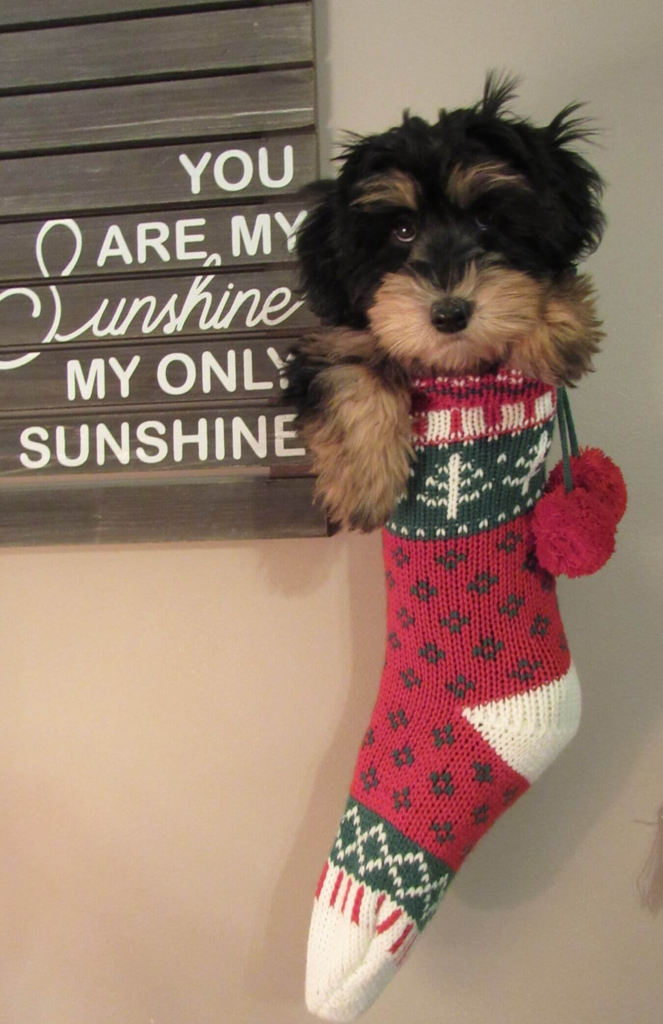 Liberty as a puppy hanging in a Christmas stocking
