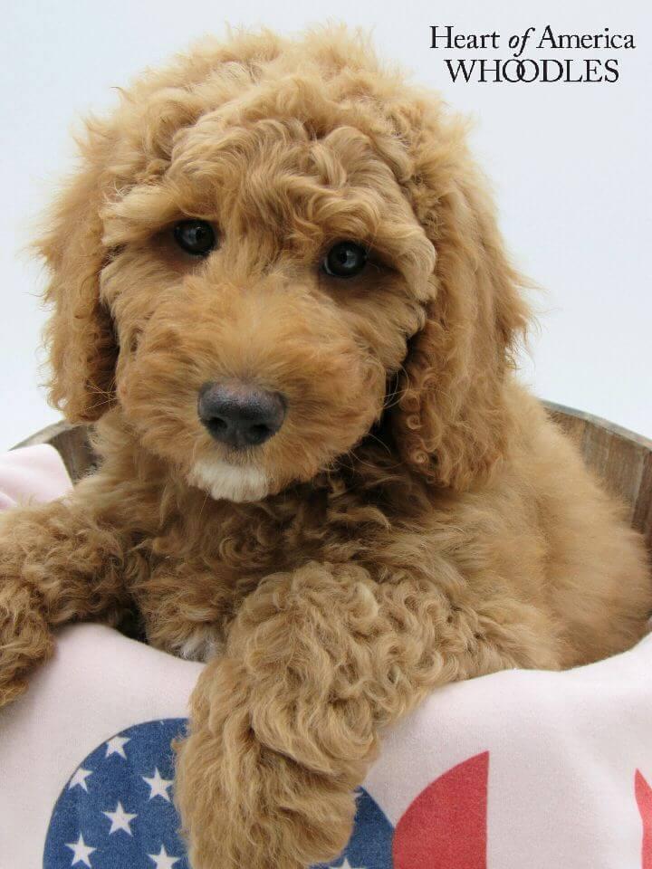 McKinley as a puppy in a basket
