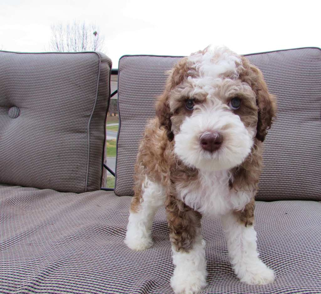 A brown and white whoodle puppy on a couch outside