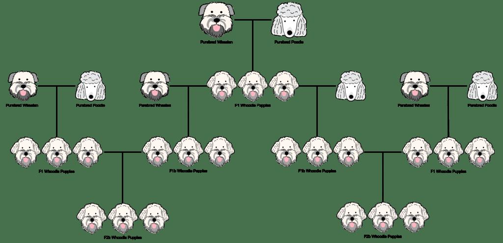 An f2b generation whoodle breeding chart