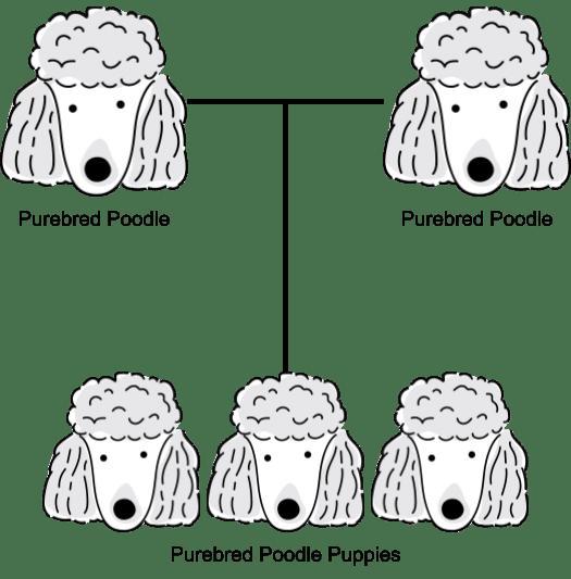 A Purebred Poodle Breeding chart