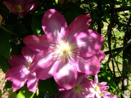 Clematis, cllose up, Apr, 21, 2014