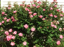 Single pink knock-out rose