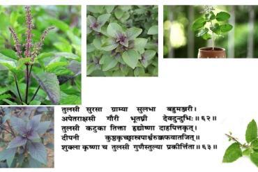 Une plante sacrée : Tulsi le basilic indien, Ocimum sanctum, Lamiaceae.