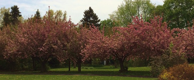 Row of pink trees
