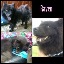 Raven flyer