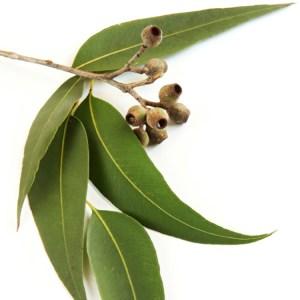 eucalyptus 750 sq