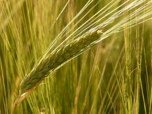 does barley water reduce blood sugar