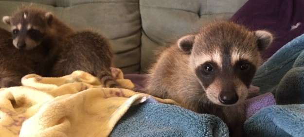 These baby raccoons almost didn't make it after they found starving and near death as newborns in a moving truck that had traveled from Florida to California.