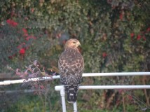 January: Hawk Comes Courting