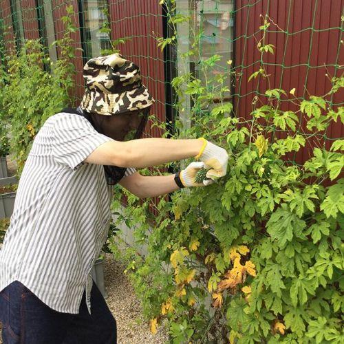 heartyではグリーンカーテンでゴーヤを育てていますいい感じに育ったゴーヤを収穫中の大将🥒
