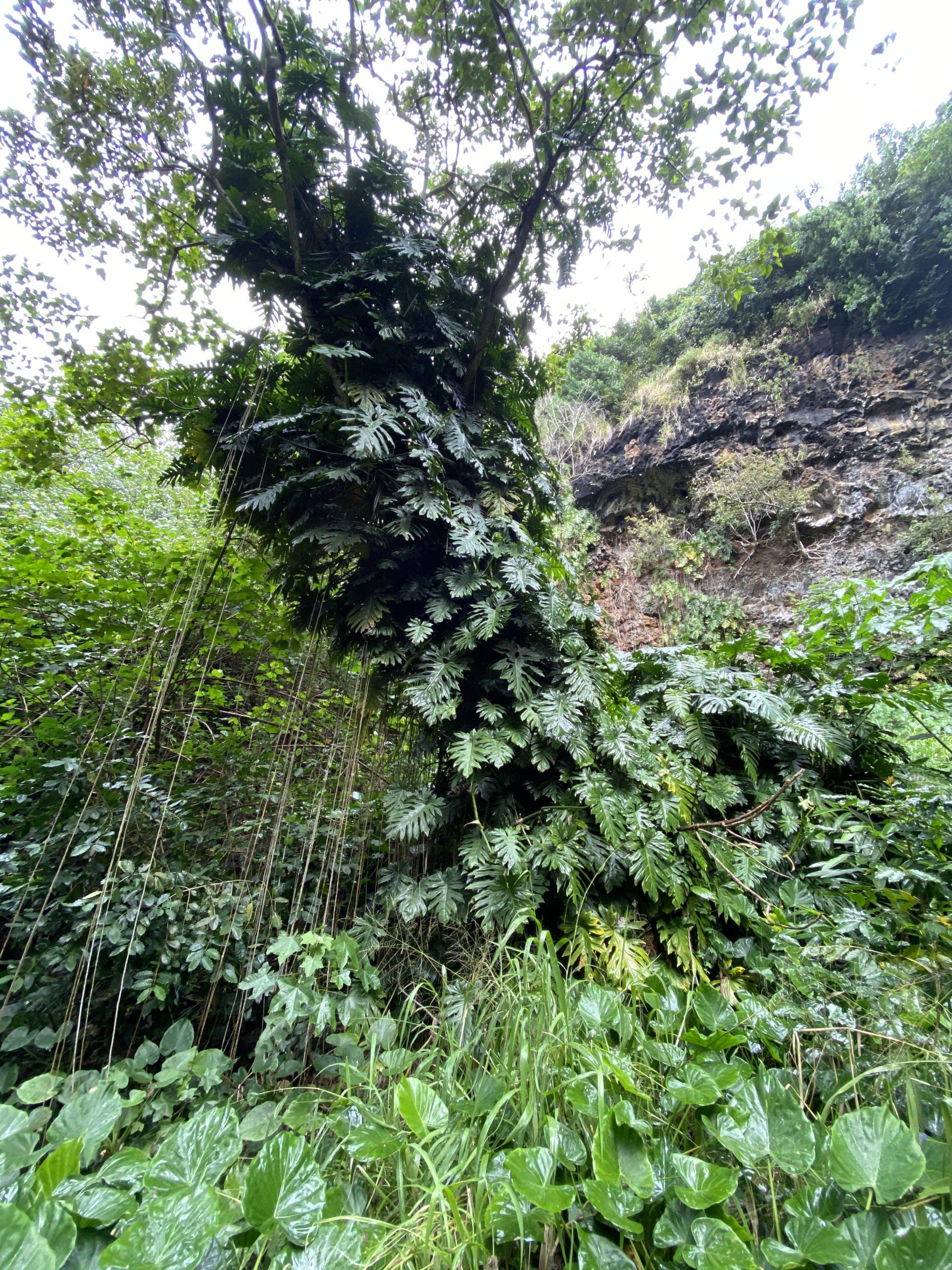 カウアイ島シダの洞窟のモンステラ