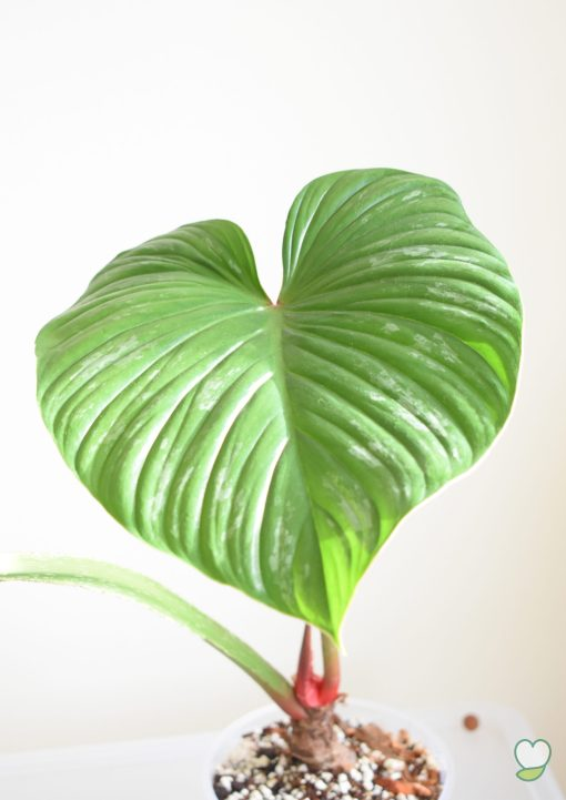 Philodendron Mamei big leaf