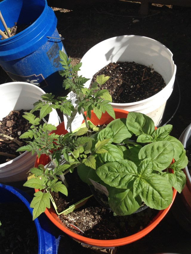 The new tomato and basil plants from HEB