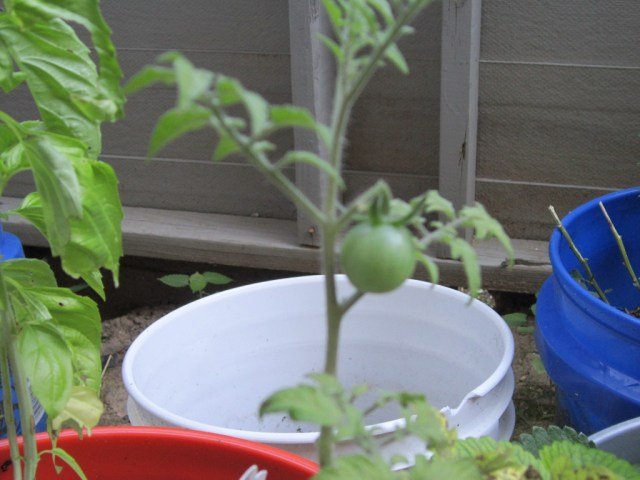 My first tomato!