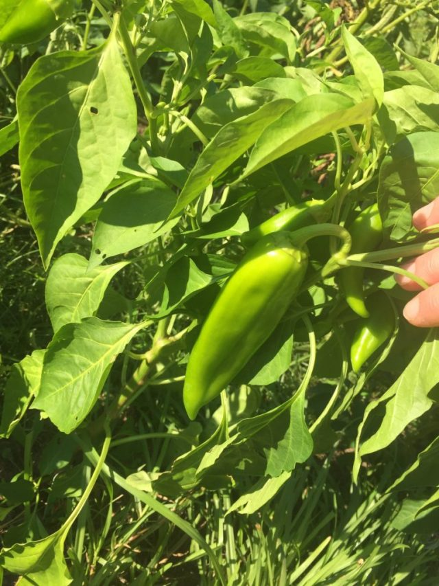 Anaheim Hatch chili pepper plant with pepper